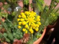 Květy sukulentů 2013
